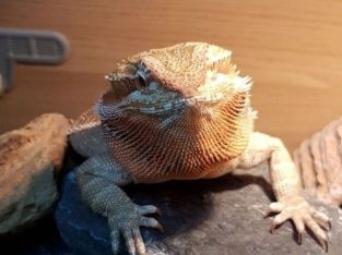 For Sale Baby Bearded dragon