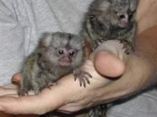 Adorable Finger Marmoset Monkeys Ready Now