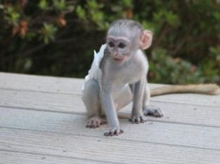 Male And Female Capuchin Monkey For Sale