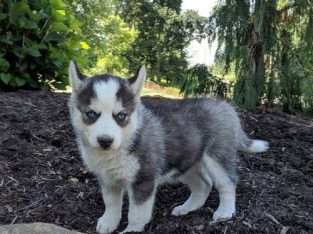 Siberian Husky Puppies 4 Girls 3 Boys