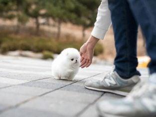 ,0 x 0 Ready,Snow White Mini Pomeranian ice white mini li