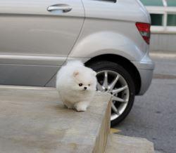 Exclusive Teacup Pure White Pomeranian